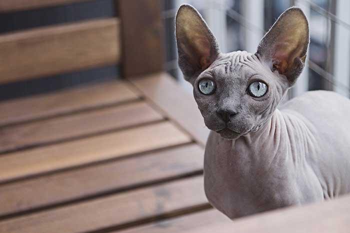 SPHYNX: the weirdest cat