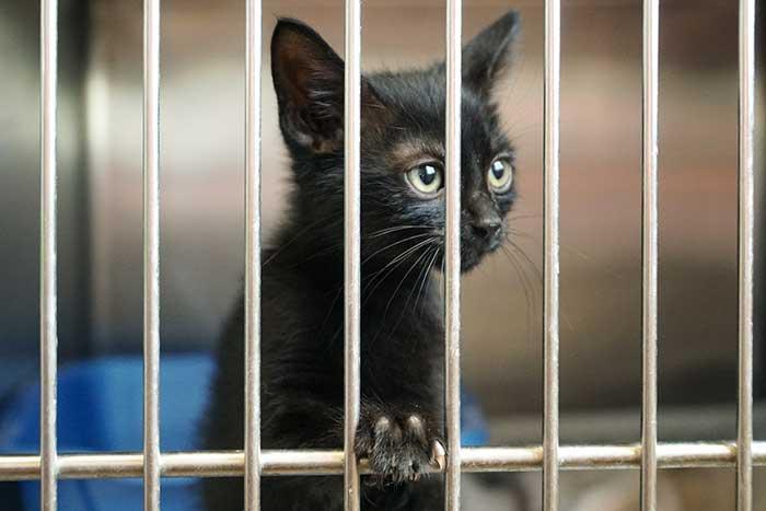 Beautiful black cat in a cage