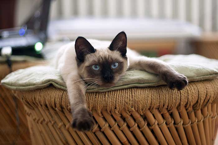 Siamese the royal cat