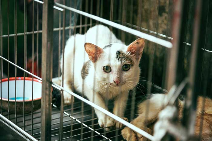 Beautiful white cat in cage